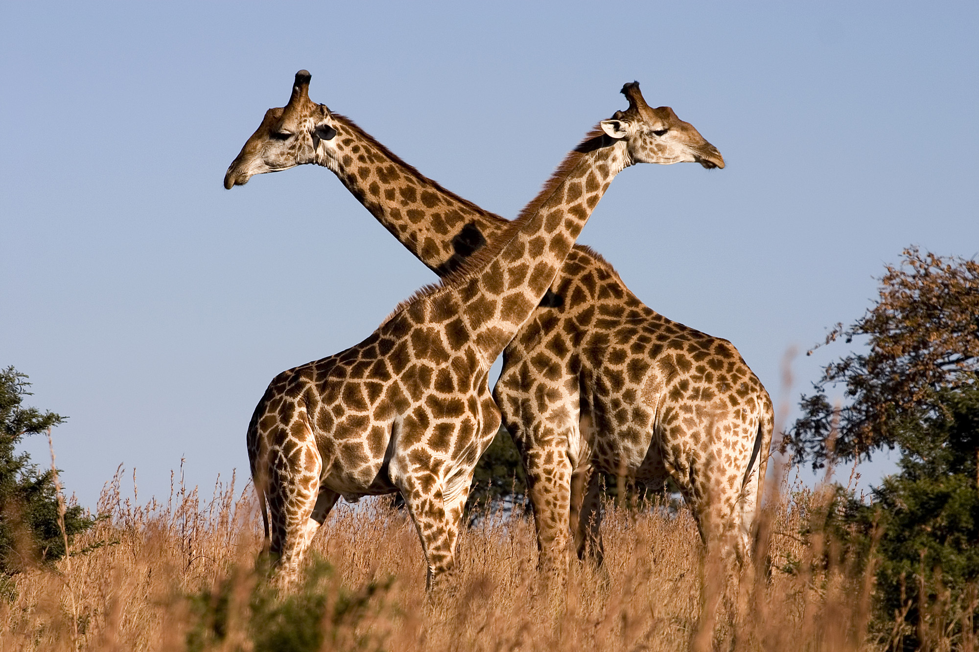 Giraffe_Ithala_KZN_South_Africa