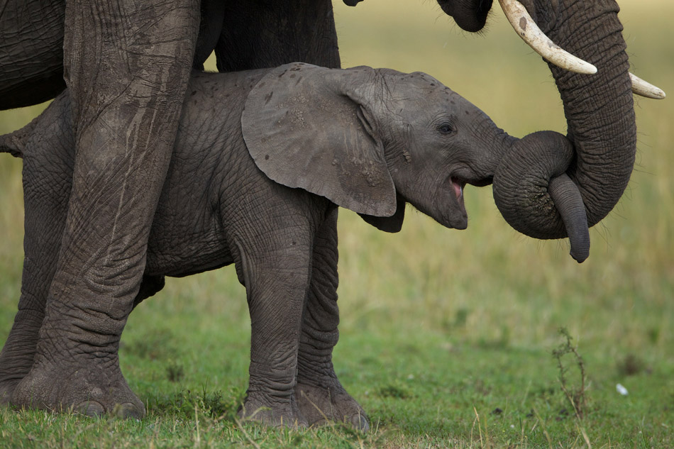 Elephant newborn baby - photo#4