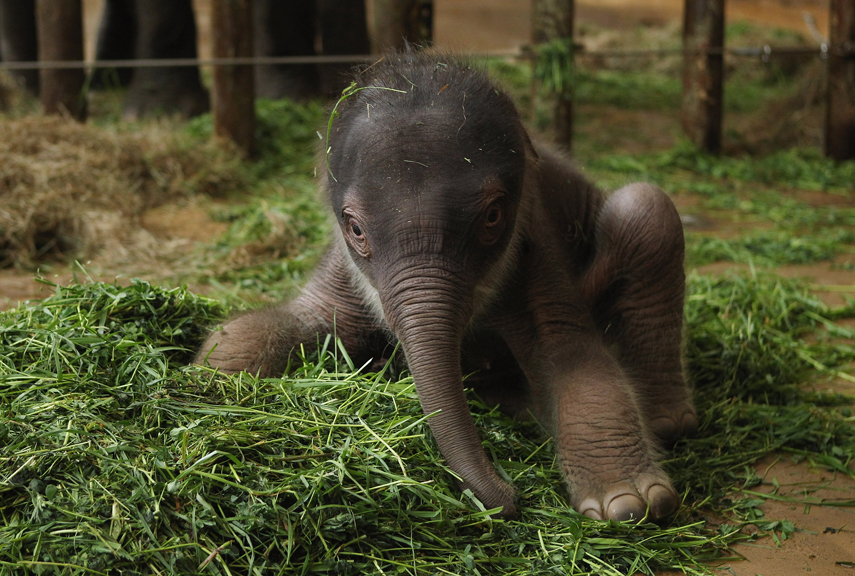 Elephant newborn baby - photo#6