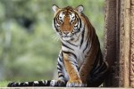 sitting-tiger-hd-animal-wallpaper-tigers