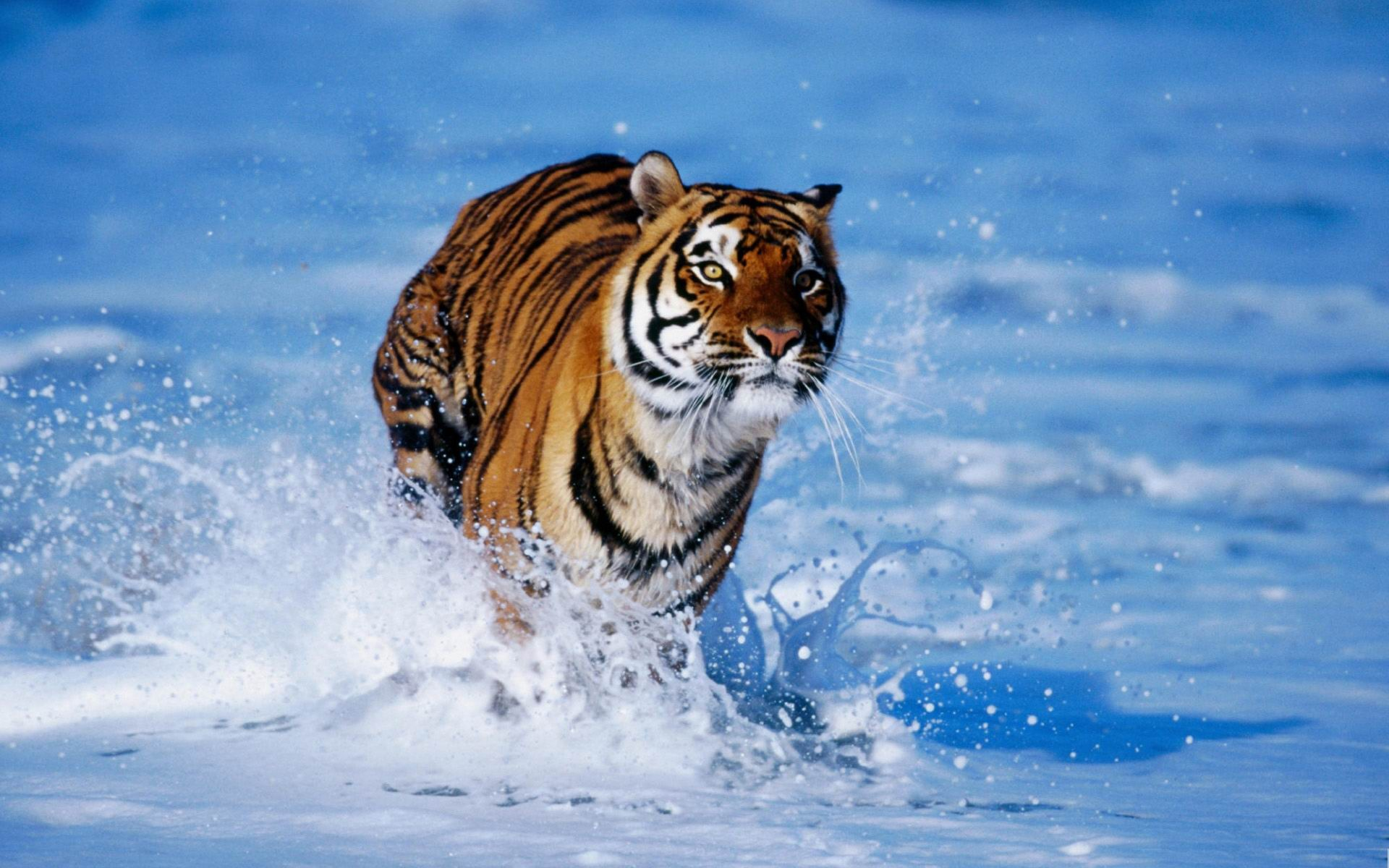 pictures of tigers