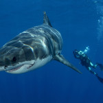 diving with bull shark