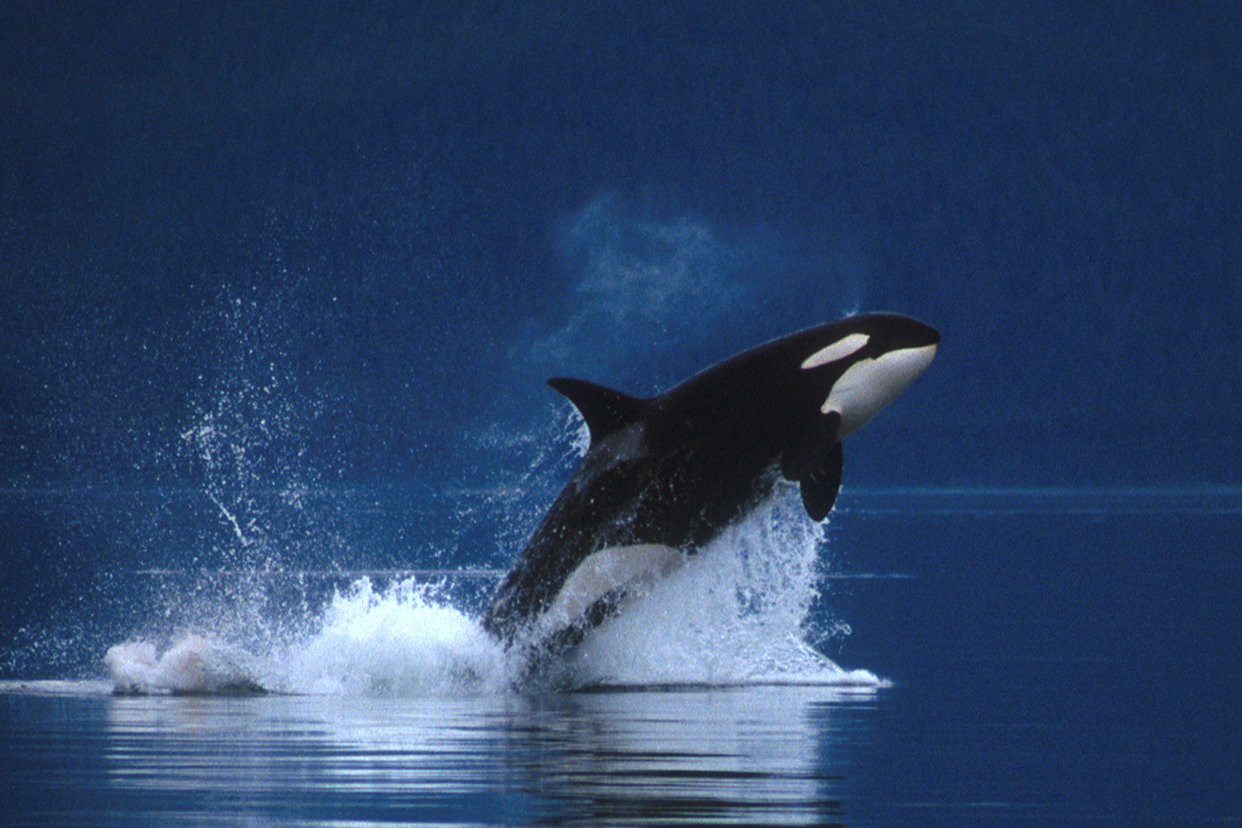 free-killer-whale-orca-wallpaper