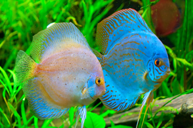 Gallery images and information: Types Of Tropical Aquarium Fish