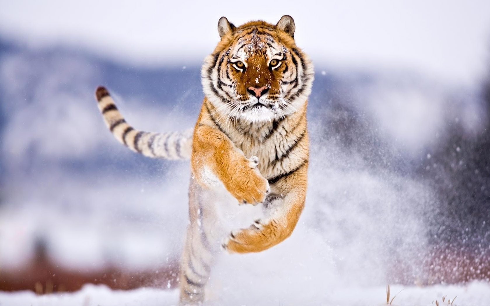 siberian-tiger-wallpaper