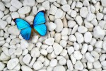 Blue Butterfly On White Stones Desktop Background
