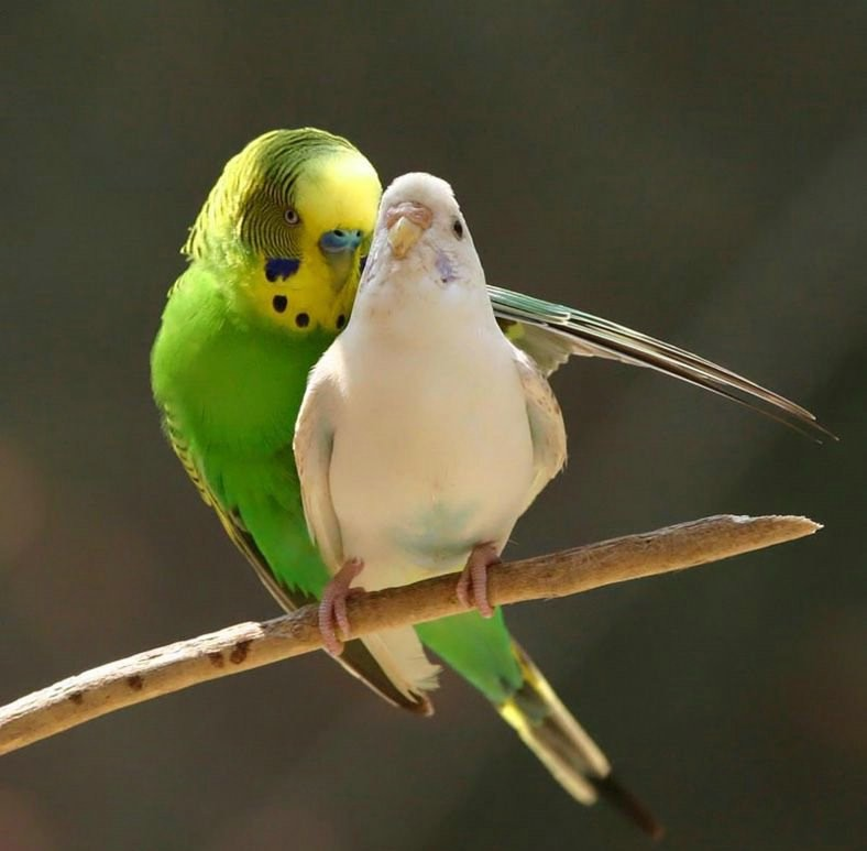 love-bird-pictures