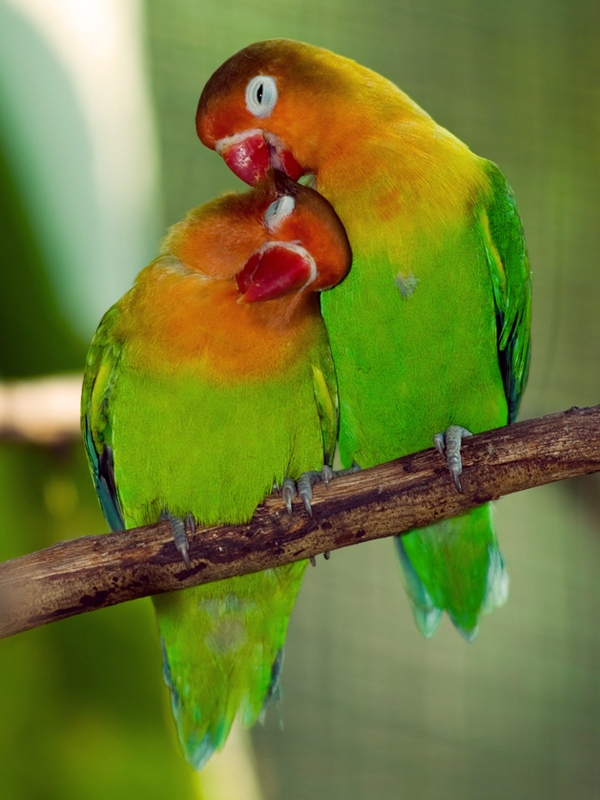 sweet_love-birds_photo