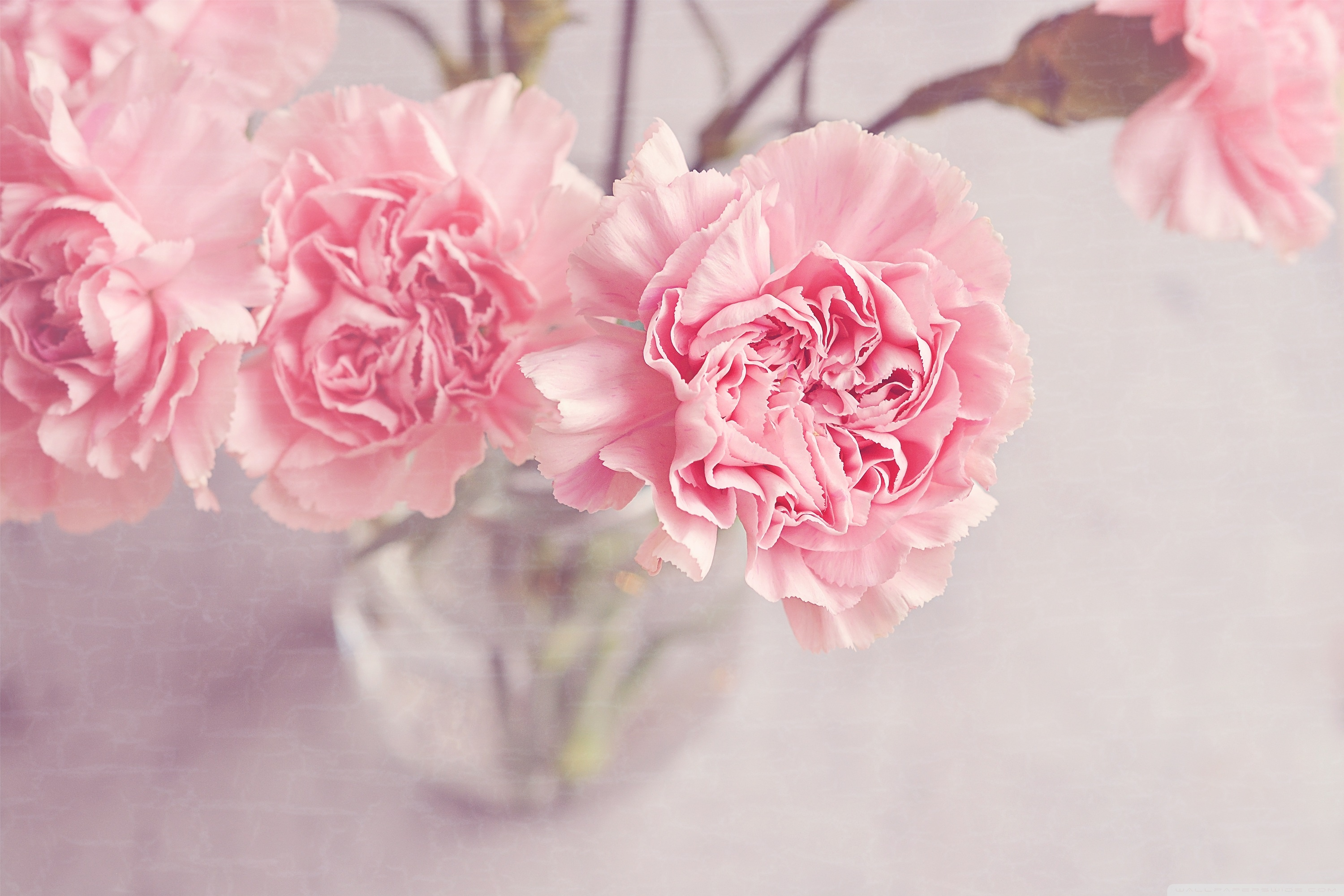 Hd wallpaper cute - Light_pink_carnations_flowers_in_a_vase Wallpaper Light_pink_carnations_flowers_in_a_vase Wallpaper