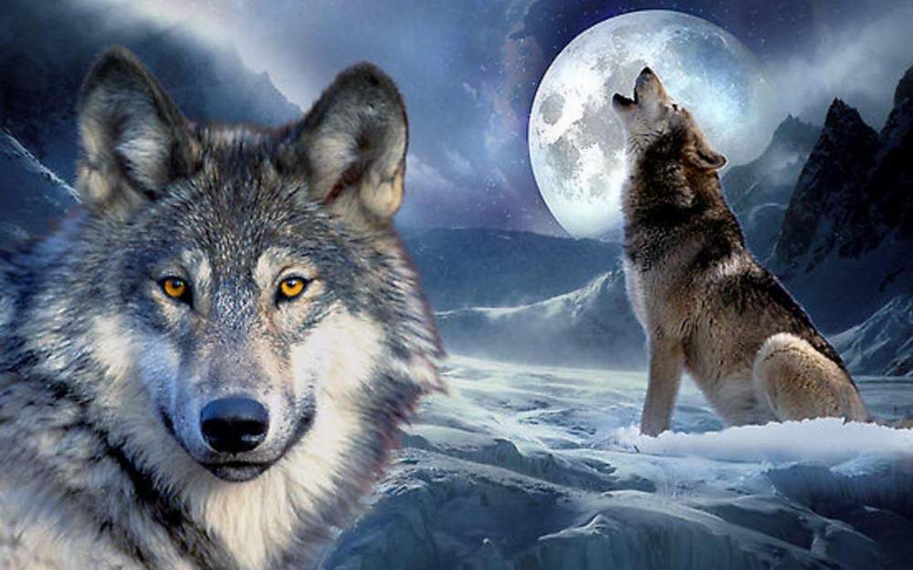 Cool Wolf Wallpapers 27 Fun Chap