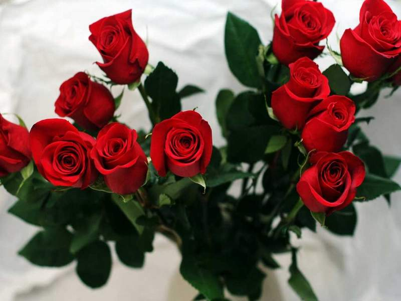 flowers rose red pretty